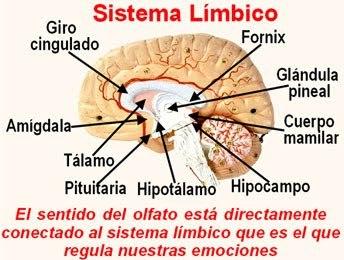 sistema_limbico_y_sentido_del_olfato