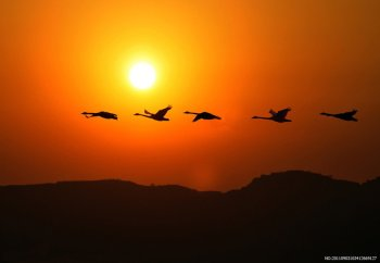 455755__flock-of-birds-at-sunset_p